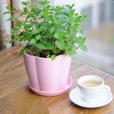 Best Fragrant Indoor Plants - growing mint indoors u0026 how to care it growing mint fast growing