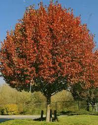 turfsavers tree farm ornamental trees for sale turfsavers tree