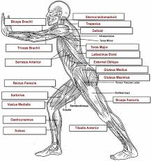 The Human Anatomy Muscles The 25 Best Muscle Anatomy Ideas On Pinterest Human Muscle