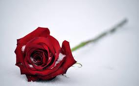 wallpaper flower red rose wallpaper red rose snow hd 4k flowers 5914