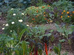 marigolds just a pretty flower or much more u2014 veggie gardening tips