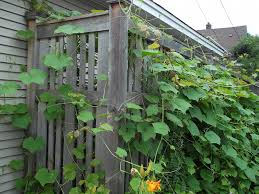 Trellis With Vines Growing Grapes For Home Use Yard And Garden University Of