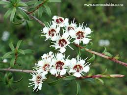 native plant guide about garden design kunzea ericoides