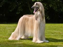 afghan hound owner reviews afghan hound fun animals wiki videos pictures stories
