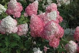buy hydrangea vanilla strawberry online garden goods direct