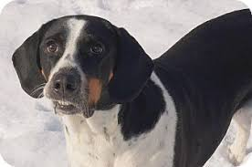 bluetick coonhound energy level hound adopted dog indianapolis in harrier bluetick