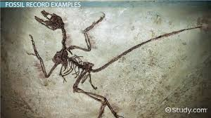 fossil record definition u0026 examples video u0026 lesson transcript