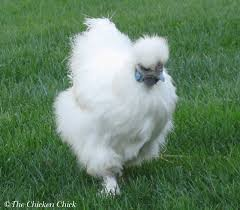 when will a hen begin laying eggs watch for the squat
