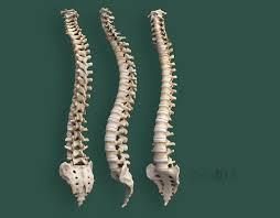 Human Vertebral Column Anatomy Real Human Vertebra Column With Pelvis And Occipital Bone Homo