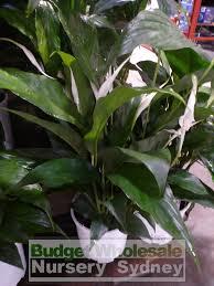 native plant nursery sydney spathiphyllum sensation 200mm pots budget wholesale nursery sydney