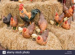 a display of ornamental chickens and cockerels stock photo