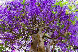 tree with purple flowers tropical tree with purple flowers stock photo image of pink