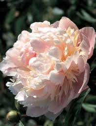 peony u0027solange u0027 feed your plants with growbest from http www