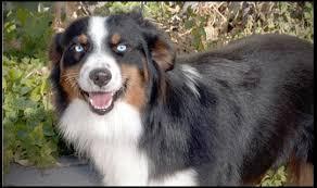 adopt a australian shepherd home schaffert u0027s nebraska dog