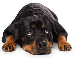 how much should i feed my rottweiler rottweilerhq com