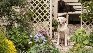 labrador proofing your garden