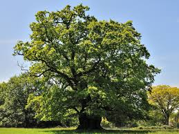 hundreds of previously undiscovered ancient oak trees found in