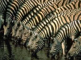 pattern formation zebra how the zebra got its stripes professor andrea sella youtube