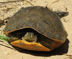 Texas Map Turtle Alabama Red Bellied Cooter Wikipedia
