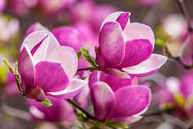 pink magnolia wallpaper high quality drawing branch white flower