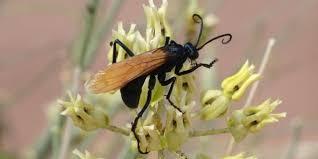 bbc earth the wasp that kills tarantulas