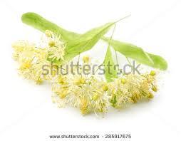 linden flower linden flower stock images royalty free images vectors