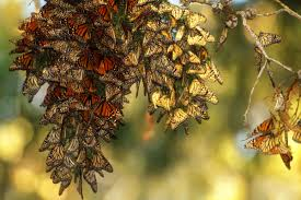 to save the monarch butterfly many are turning to the humble