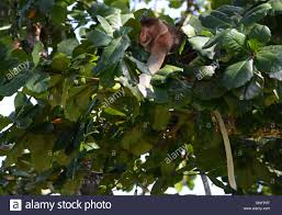 Snake Fruit Tree - a proboscis monkey eating young leaves on a tree a gold ringed