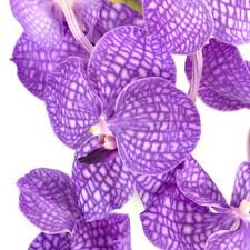 vanda orchid bicolor vanda orchid flower