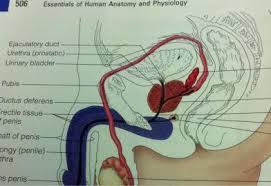 Urinary Bladder Anatomy And Physiology Anatomy Of Kidneys Ureter Urinary Bladder Rectum Canal