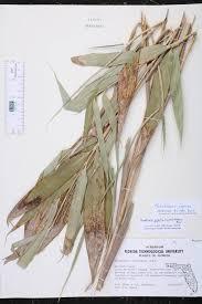 native florida air plants arundinaria gigantea species page isb atlas of florida plants