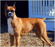 boxer boxer dog breed facts and personality traits hill u0027s pet
