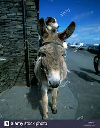 diuris corymbosa common donkey orchid attractive donkey stock photos u0026 attractive donkey stock images