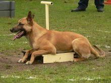 belgian shepherd edmonton i found charley on malinois dog and belgian shepherd