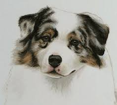 australian shepherd akc 108 best australian shepherd images on pinterest australian