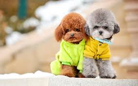 poodle dogs wallpaper pictures 49991 1440x900 px hdwallsource com