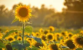 salina ks sunflower field by kansas state university kansas hotels events things to do restaurants travel tools