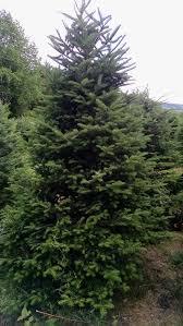 vermont christmas trees salomaa christmas tree farm