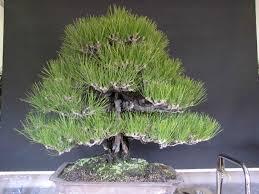 pot bonsai design formal upright peter tea bonsai