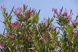 oleander plant info u2013 how to care for oleander shrubs
