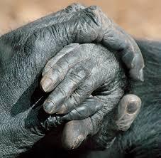 gorilla u2013 tejanimals