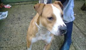 1 year old boxer dog cleo u2013 1 year old female staffordshire bull terrier cross boxer