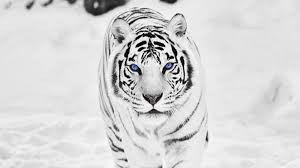 white tiger hd wallpapers u2013 wallpapercraft