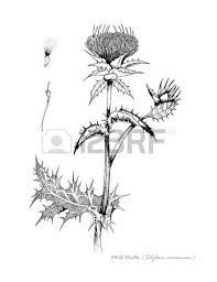 milk thistle with detail of seed and flower stock photo picture