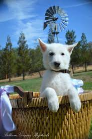 White German Shepherd German Shepherds are medium to large sized