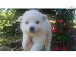 american eskimo dog toy for sale view ad american eskimo dog puppy for sale tennessee knoxville usa
