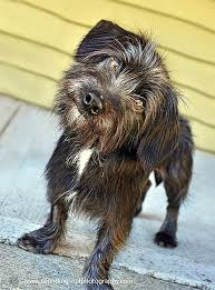 affenpinscher ottawa harold the mystery dog rebounds from troubling injuries ctv
