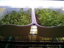 indoor lettuce garden gardening ideas