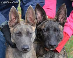belgian shepherd rescue california our dutch shepherds earn their stripes at cher car kennels