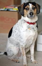 bluetick coonhound beagle frengle 2 my love of dogs pinterest french bulldogs beagle